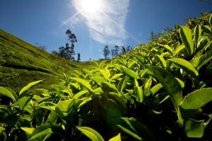 Lapachotee - Ein Naturprodukt mit persönlichem Geschmack