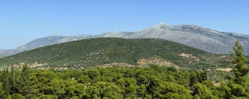 Das griechische Eisenkraut wächst besonders gut in den Bergregionen von Griechenland